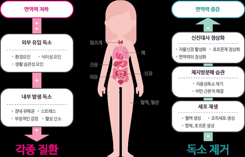 면역력이 저하하면 각종 독소 유입+발생으로 각종 질환에! 독소를 제거하면 신진대사 정상화+체지방분해습관+세포 재생으로 면역력 증강!