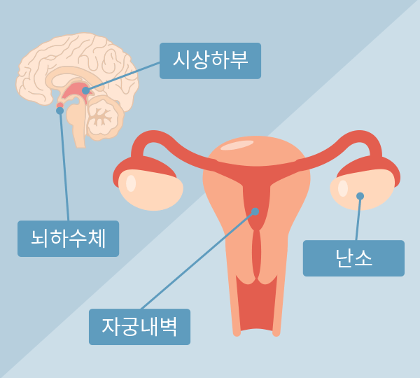 뇌하수체-시상하부-자궁-난소